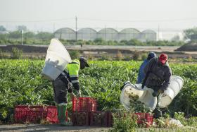 Persones migrades treballant en l'agricultura